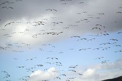 Thousands of snow geese fly over the Bosque del Apache National Wildlife Refuge, near San Antonio and Socorro, New Mexico Royalty Free Stock Photography