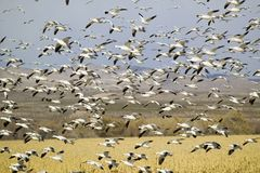 Thousands of snow geese fly over cornfield at the Bosque del Apache National Wildlife Refuge, near San Antonio and Socorro, New Me Stock Images