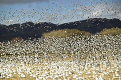 Thousands of snow geese fly over cornfield at the Bosque del Apache National Wildlife Refuge, near San Antonio and Socorro, New Me Royalty Free Stock Photography