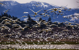 Thousands of Snow Geese Flying Directly At You Stock Photography