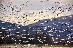 Thousands of Snow Geese Flying and Taking Off stock image