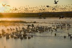 Thousands of snow geese and Sandhill cranes sit on lake at sunrise after early winter freeze at the Bosque del Apache National Wil Stock Photos