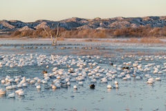 Thousands of snow geese and Sandhill cranes sit on lake at sunrise after early winter freeze at the Bosque del Apache National Wil Stock Photography