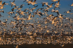Thousands of Snow Geese take flight Stock Photos