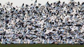 Migrating snow geese in Eastern Ontario in early winter Royalty Free Stock Photo