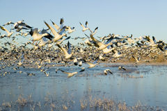 Thousands of snow geese take off at sunrise at the Bosque del Apache National Wildlife Refuge, near San Antonio and Socorro, New M Stock Photos