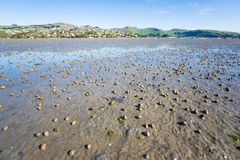 Thousands of spiral shells crawl on the wetland mud beach in Sum Stock Photos