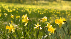Thousands of wild daffodials Royalty Free Stock Images