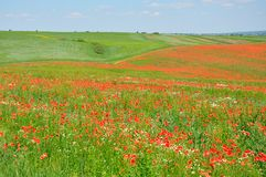 Summer field of red poppies royalty free stock image