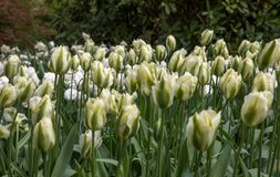 White tulips waiting to be admired in the Keukenhof. ThousandsWhite tulips waiting to be admired in the Keukenhof stock image
