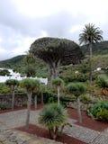 Thousant-år-gamla Dragon Tree i Tenerife, kanariefågelöar, Spanien Royaltyfri Fotografi