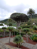 Thousant-year-old Dragon Tree in Tenerife, Canary Islands, Spain Royalty Free Stock Photography