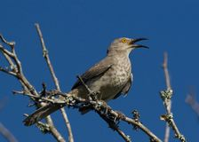 Thrasher against blue sky. A curve billed thrasher perched in a mesquite Royalty Free Stock Photo