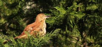 Thrasher-beak open Stock Photos