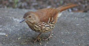 Thrasher bird close up Stock Photography
