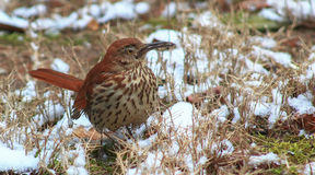 Thrasher-bird on the snow covered ground. Royalty Free Stock Image
