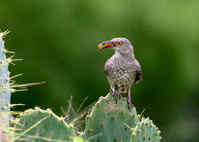 Thrasher on a cactus. A curve-billed thrasher perched on a prickly pear catus.  The orange berries in its beak are from spiny hackberry (Celtis pallida Royalty Free Stock Image