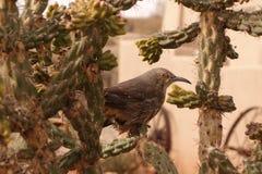 Thrasher incurvé de facture dans le cactus Photo libre de droits