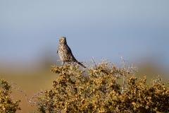 Thrasher prudente, montanus di Oreoscoptes fotografie stock
