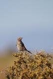 Thrasher prudente, montanus di Oreoscoptes fotografia stock