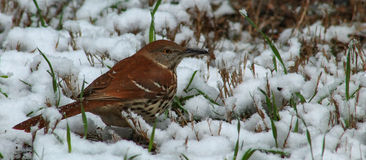 Thrasher in the Snow. Brown Thrasher on the snow covered ground in March in North Carolina Royalty Free Stock Images