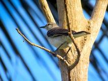 Thrasher-Vogel auf einem Zweig stockbild