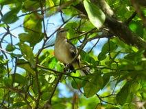 Thrasher-Vogel in einem sehr belaubten Baum stockbild