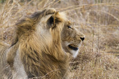 Thre years old LIon resting on the grass. Lion of three years old in the bushes in bushveld resting on the grass Royalty Free Stock Images