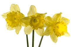 Thre yellow daffodil Stock Image