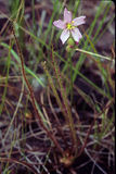 Thread-leafed Sundew. With solitary pink flower. Navy Cooperative, Suffolk County, New York royalty free stock photos
