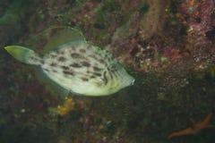Thread-Sail Filefish-Stephanolepis cirrhifer Royalty Free Stock Photo