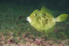 Thread-Sail Filefish-Stephanolepis cirrhifer Stock Images