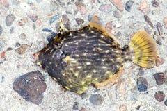 Thread-sail filefish Stock Photo