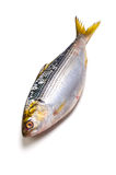 Thread shad Royalty Free Stock Images