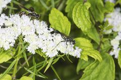 Thread waisted wasp foraging for nectar on mountain mint flowers Stock Photo