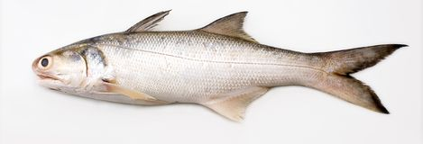 Threadfin. Slim fish popular for its sweet meat when cooked with porridge Royalty Free Stock Photos