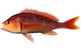 Threadfin Bass. Fish illustration on white background royalty free stock photos