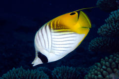 Threadfin butterflyfish Lizenzfreie Stockfotografie