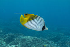 Threadfin Butterflyfish foto de stock royalty free