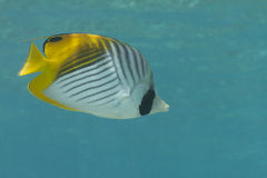 Threadfin Butterflyfish Image libre de droits