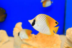 Threadfin Butterflyfish Stockbild