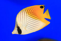 Threadfin Butterflyfish Foto de archivo