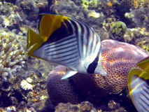 Threadfin butterflyfish (Chaetodon auriga) Royalty Free Stock Photos