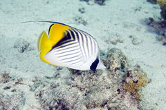Threadfin butterflyfish (chaetodon auriga). Taken in Na'ama Bay Stock Image
