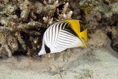 Threadfin butterflyfish (chaetodon auriga). Taken in Na'ama Bay Royalty Free Stock Photography