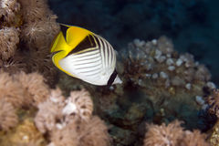 Threadfin butterflyfish (chaetodon auriga) Royalty Free Stock Images