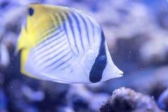 Threadfin butterflyfish - Chaetodon Auriga Stock Photography