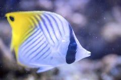 Threadfin butterflyfish - Chaetodon Auriga Stock Photo