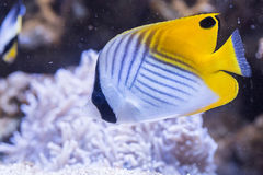 Threadfin butterflyfish - Chaetodon Auriga Stock Image