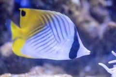 Threadfin butterflyfish - Chaetodon Auriga Royalty Free Stock Photos